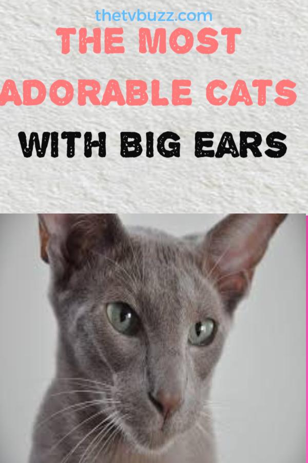BigEared Cats 8 of the Cutest BigEared Cat Breeds Cat