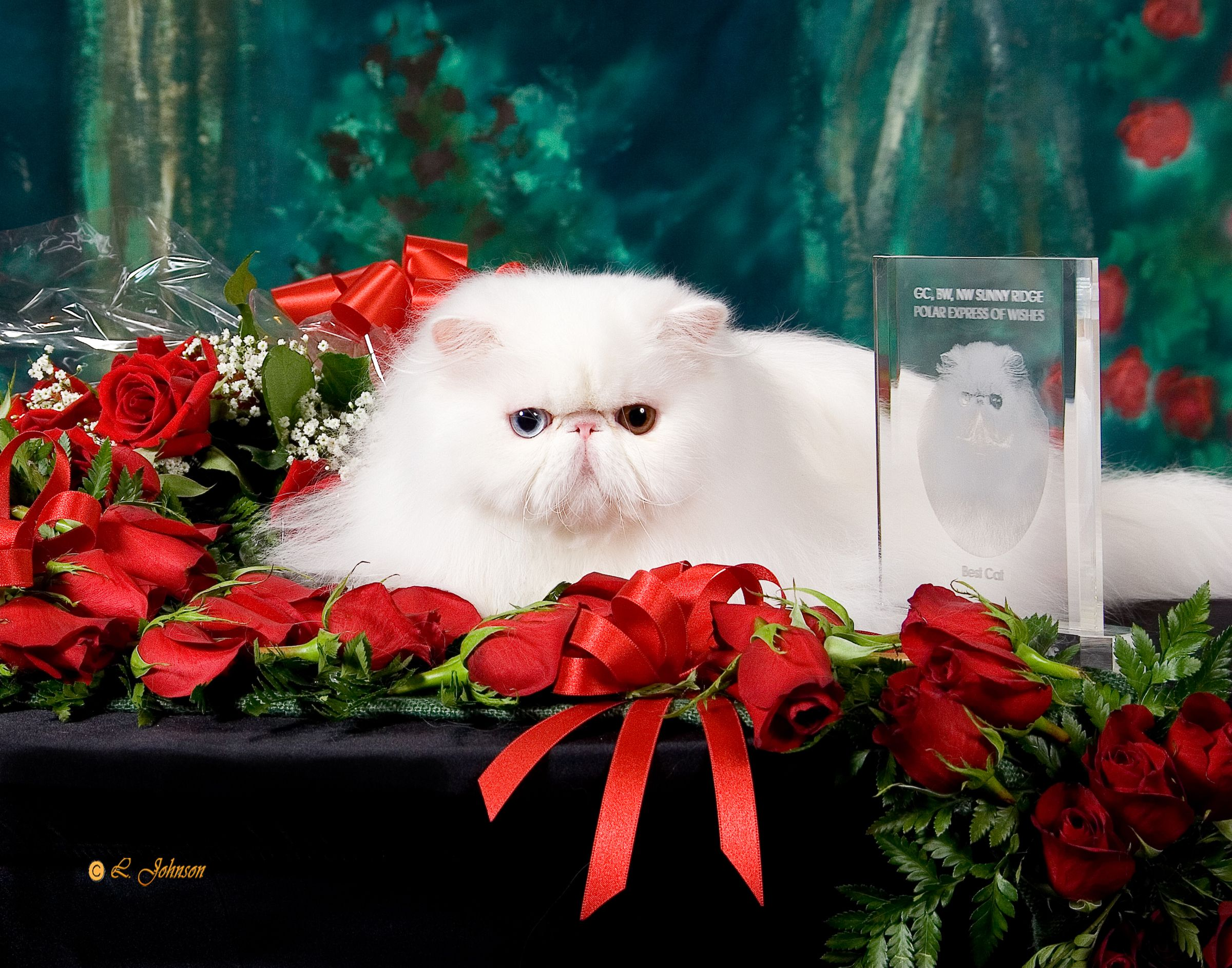 Best cat cfa white persian cool cats cats and kittens