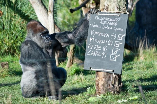 An old Western Lowland male Gorilla. London Zoo do their annual stocktake of over 19,000 animals