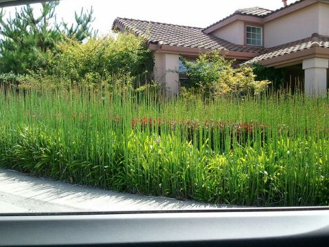 These horsetail rush have taken over the entire yard...but I really LOVE the effect!