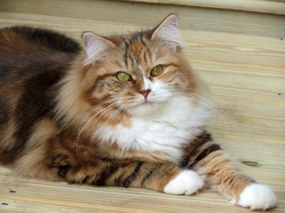 Siberian Cat Siberian Cats Siberian Kitten Siberian Kittens Siberian Kittens For Sale Hypoallergenic Kittens Hypo Siberian Cat Cats And Kittens Cats