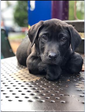 Labrador Retriever Puppy For Sale In Gresham Or Adn 56353 On Puppyfinder Com Gender Male Age 11 Weeks Old Labrador Retriever