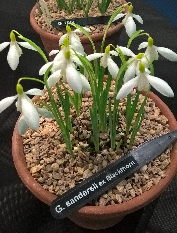 Galanthus Sandersii Ex Blackthorn From Margaret David Maclennan S National Collection Snowdrops Pallet Garden Dream Garden Garden