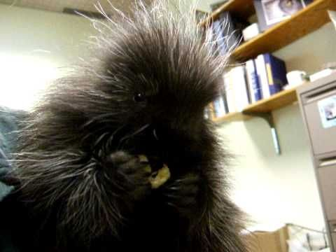 Baby porcupine (porcupet) has the hiccups!