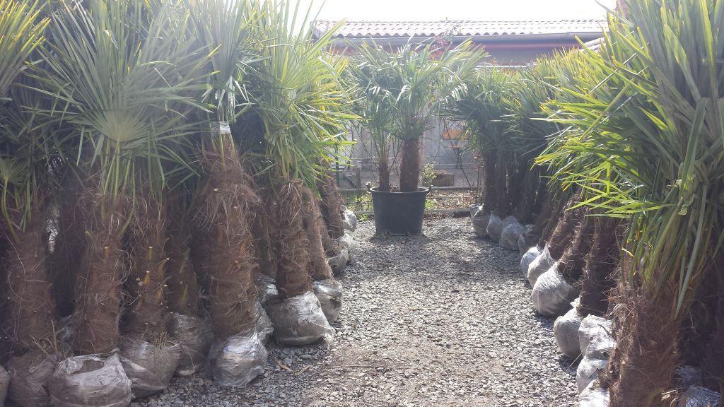 30 Bonsai Tree Phoenix Graphics Bonsai Gallery Bonsai Tree Bonsai Indoor Bonsai Tree
