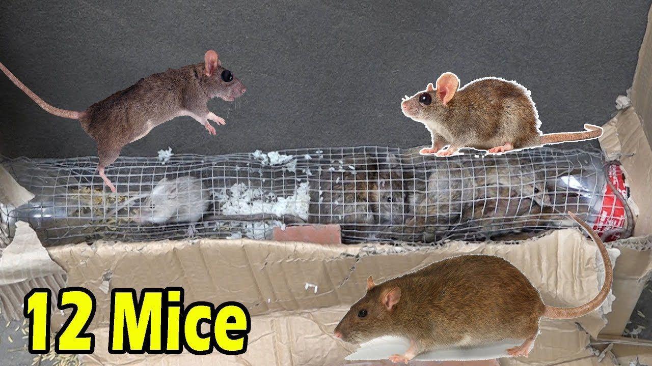 Amazing saving 12 mice in 5 minute stupid rat trap