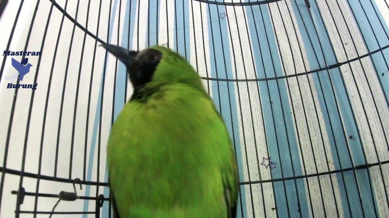 Suara Masteran Burung Cucak Ijo Juara Full Isian Gacor In 2020 Juara Banyuwangi Places To Visit