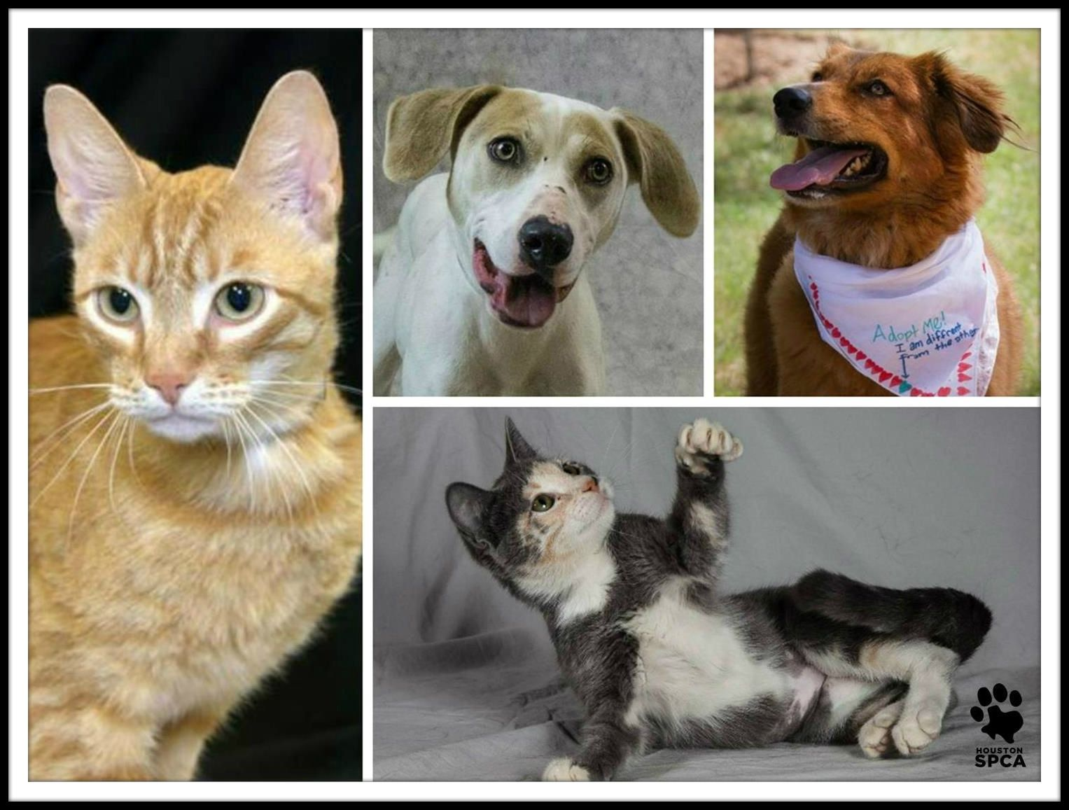 We Have Great News To Share All Kittens Cats And Dogs Excluding Those In The Spot Peabody Room At The Houston Cat Adoption Furry Friend Animal Rescue Site