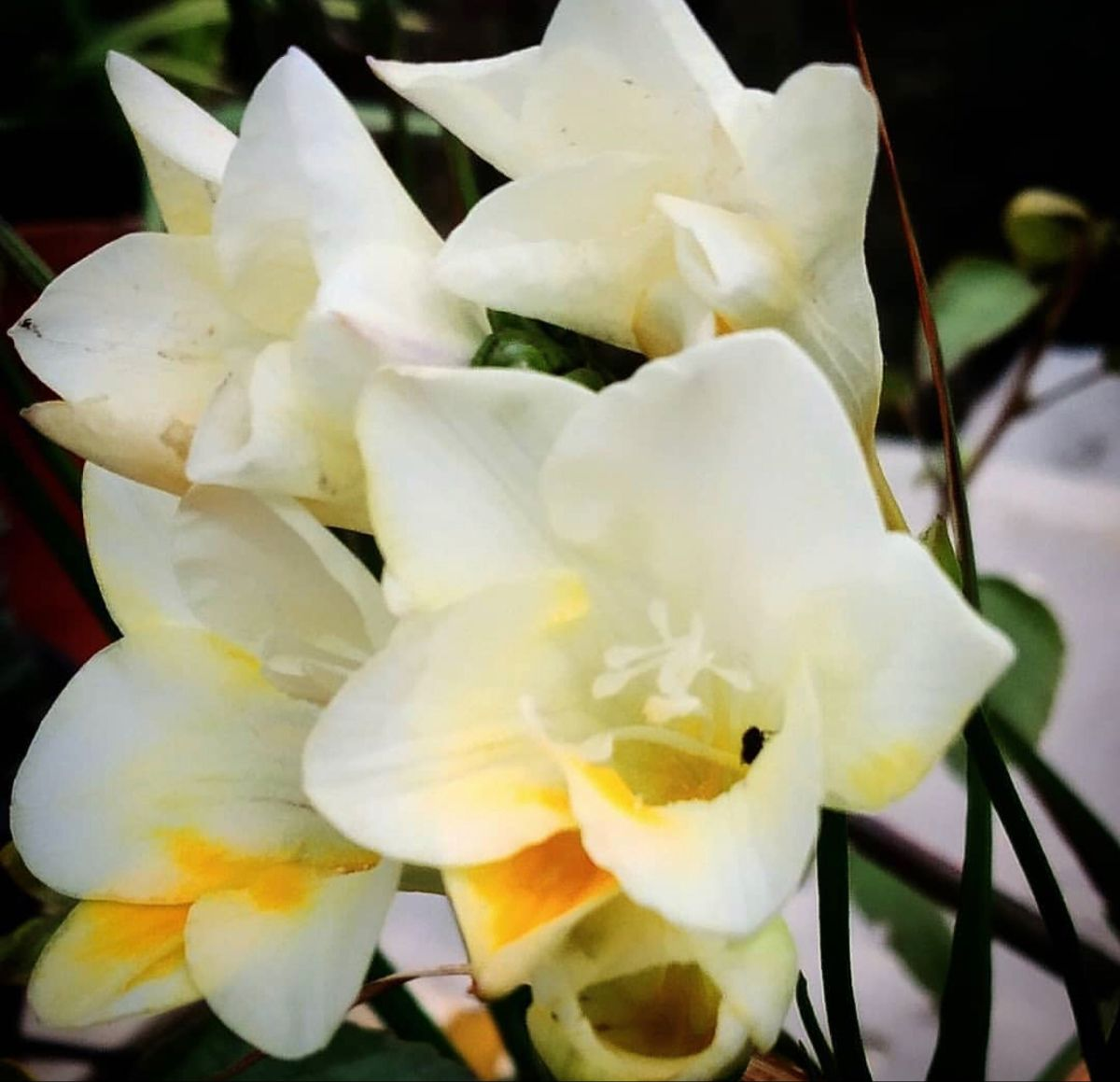Freesia Flower In 2020 Freesia Flowers Wholesale Flowers Wholesale Flowers And Supplies