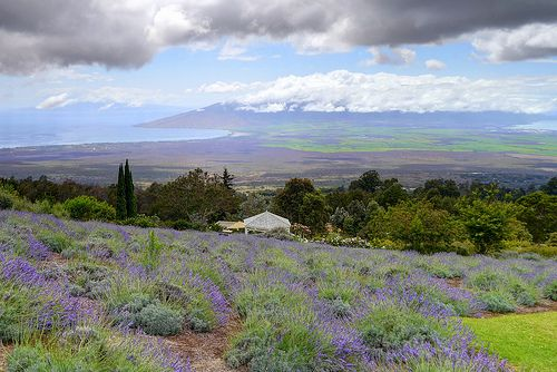 Things to do in Maui - Lavender Farm ..... I've done most of these things, but haven't slept in yurt!