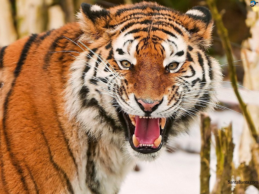 Wild Tigers Live Wallpaper APK Download Free Personalization APP