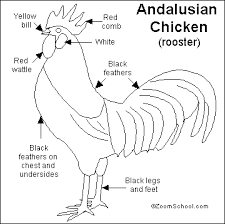 Image Result For Well Labelled Diagram Of A Fowl Rooster Different Breeds Of Chickens Fowl