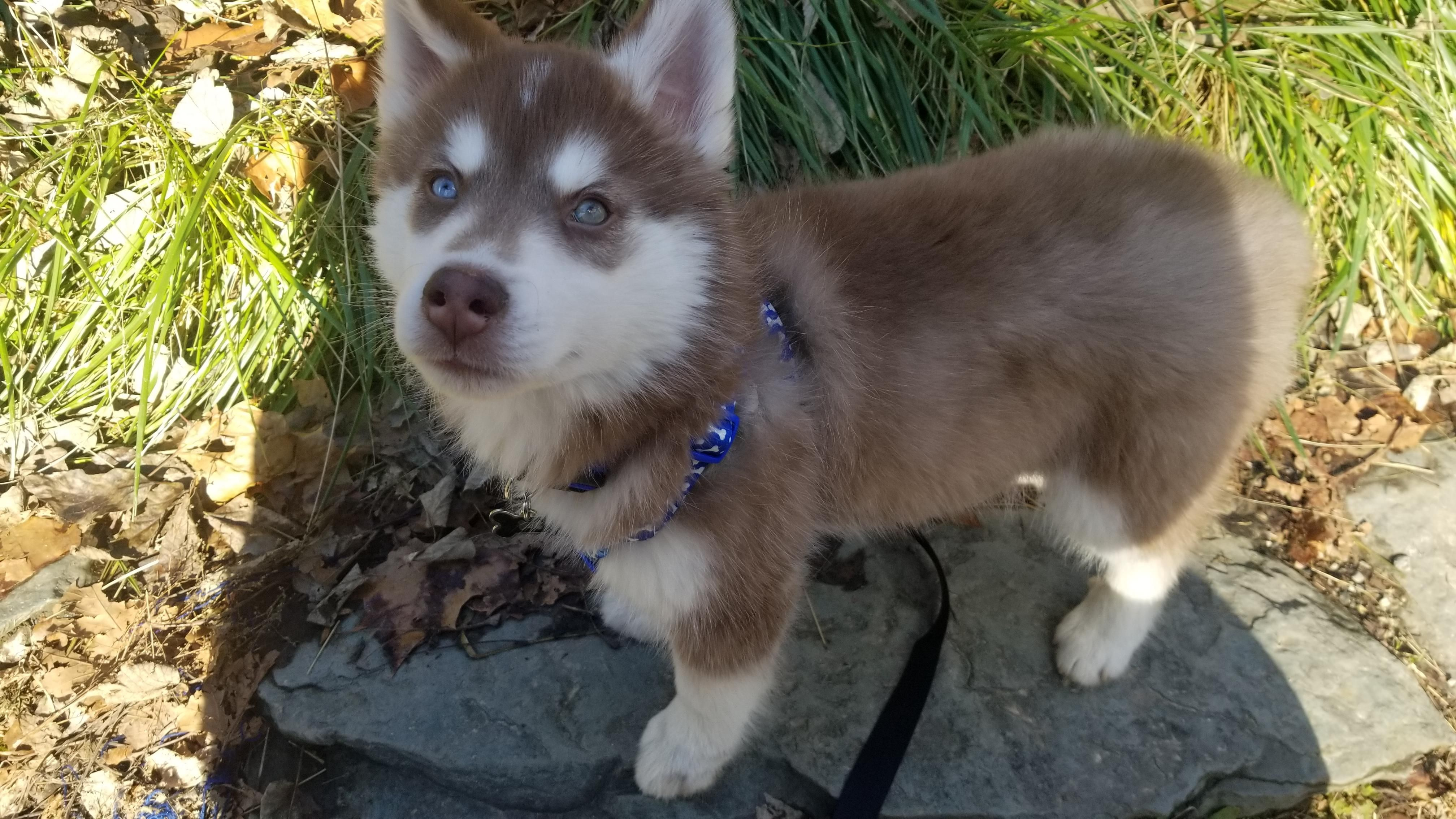 Copper Was Such A Good Boy For His First Walk Siberianhusky