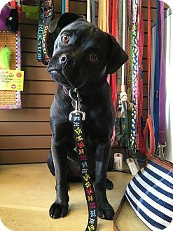 Pug Labrador Retriever Mix Dog For Adoption In Inland Empire California Bekki Dog Adoption Pugs Pets