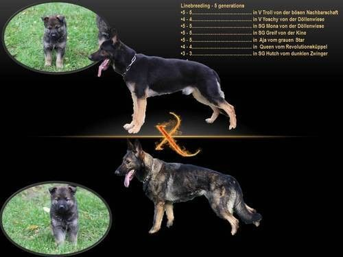 Import Working Line GSD Pups