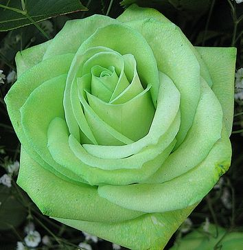 What rose color matches your personality green rose for Natural rose colors