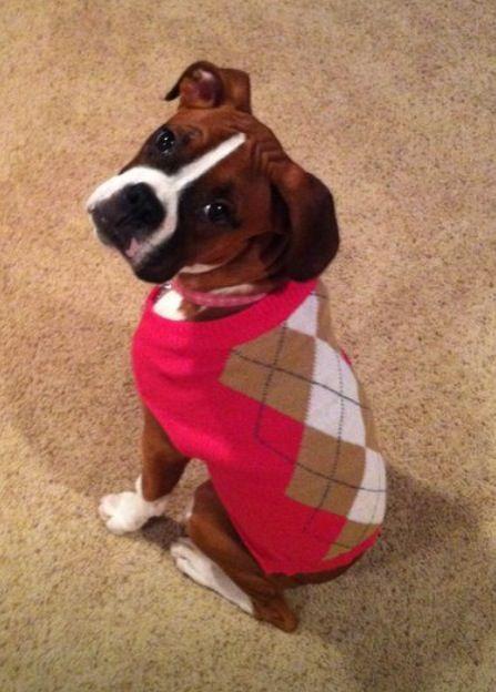 Argyle Sweater Boxer Pup Boxer Love Boxer Puppies Boxer Dogs