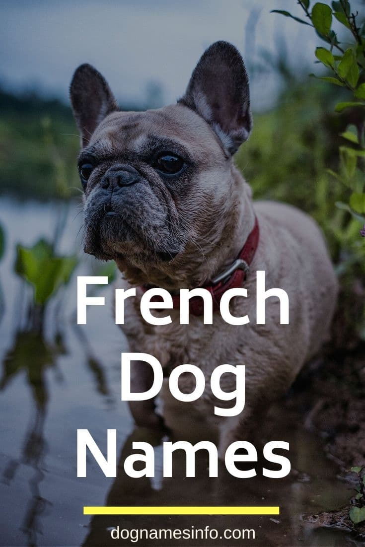 Unique French Dog Names 170 Sweet French Bulldog Names 2020 Dognames Dognamesuggestions In 2020 French Dog Names Dog Names French Bulldog Names