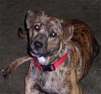 Treeing Tennessee Brindle Cur Squirrel Hunting Dog Garden Dogs