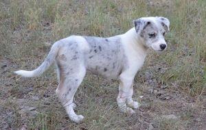 Adopt Huntley On Border Collie Puppies Blue Merle