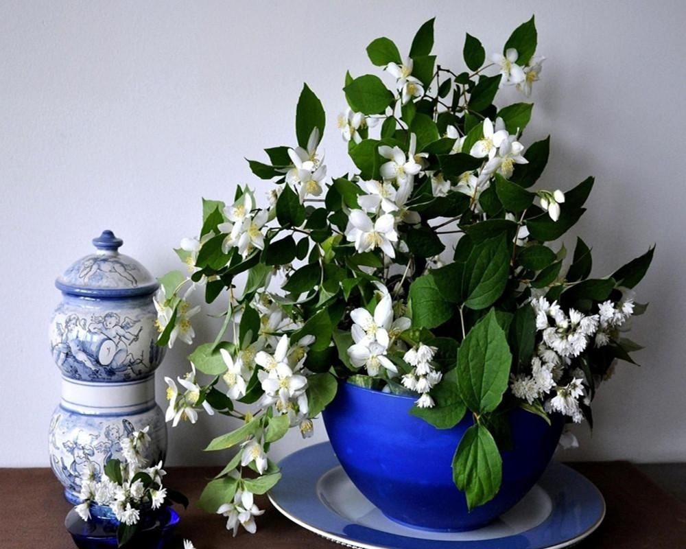 Visit to buy 30 pcsbag white jasmine seeds jasmine flower seeds visit to buy 30 pcsbag white jasmine seeds jasmine flower seeds izmirmasajfo