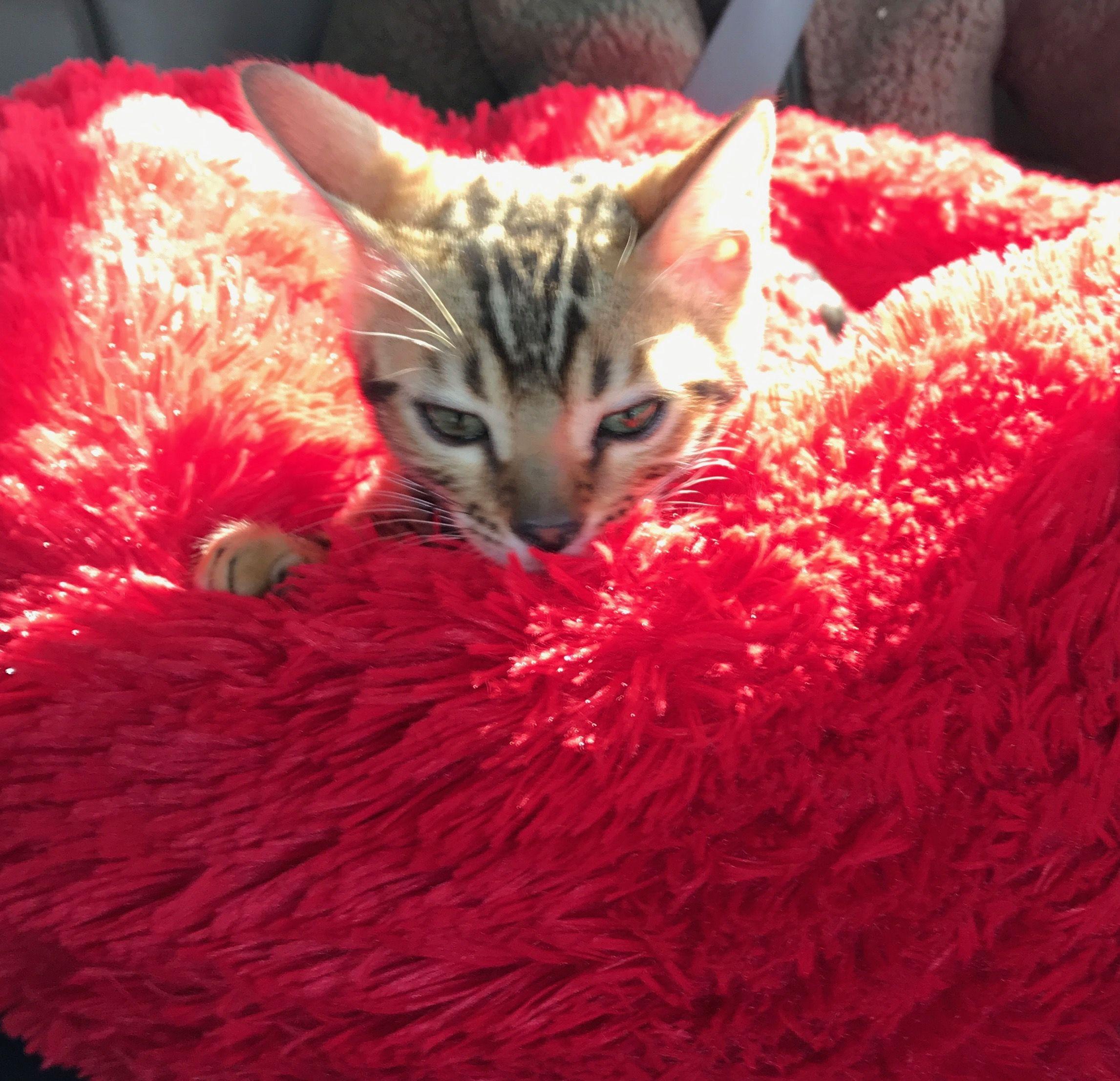 Pin by Deborah Gazafy on Bengal Cats Cats, Kitty, Animals