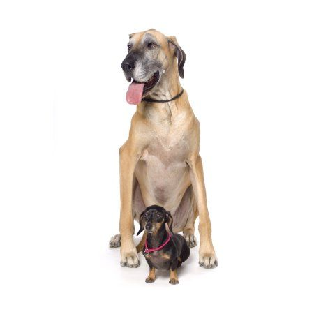 Home Great Dane Dogs Dane Dog Aggressive Dog