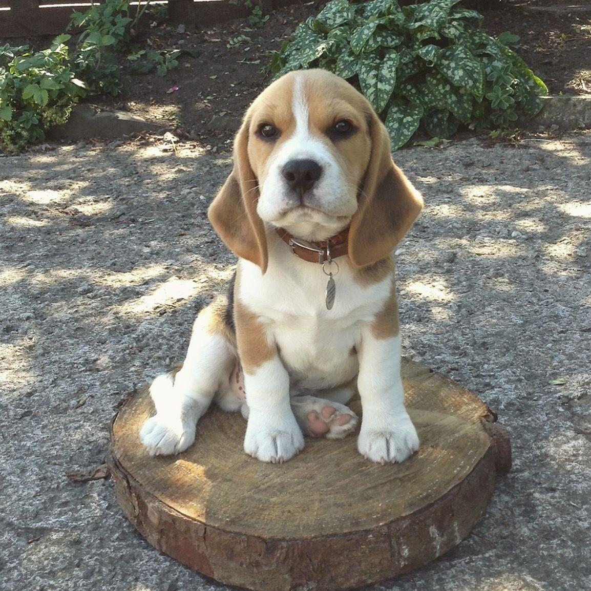 DOGTV Stimulation Dog Playing in Corn Field Beagle