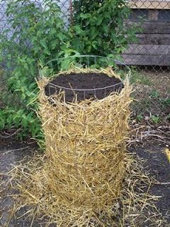 Another take on potato towers.  Plant the whole thing all at once.  Plants come out the side.  4 lbs potato seeds grow about 25 lbs potatoes.