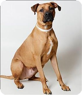 Columbus Oh Boxer Great Dane Mix Meet Titan A Dog For