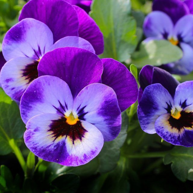 The Magical And Metaphysical Properties Of Flowers Pansies Flowers Pansies Flower Meanings