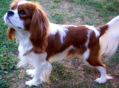 Kelton Cavaliers Cavalier Puppy King Charles Puppy Cavalier King Charles Spaniel