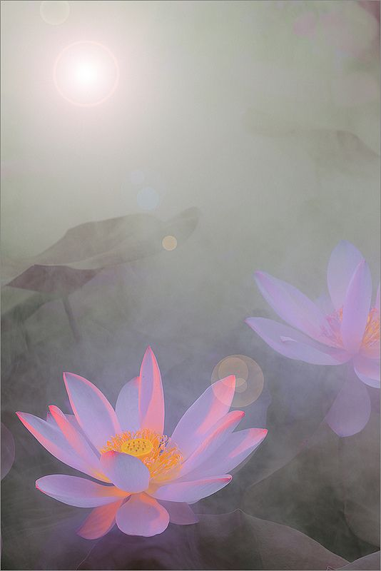 Lotus Flower Surreal Series Dd0a9721 1 1000 Lotus Flower Images