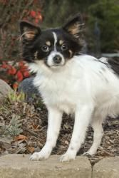 Parade HOUSE TRAINED is an adoptable Papillon Dog in Mishawaka, IN. Parade came to us from a kill shelter in Indiana where his time was up by no fault of his own. He is great with people & other dogs....