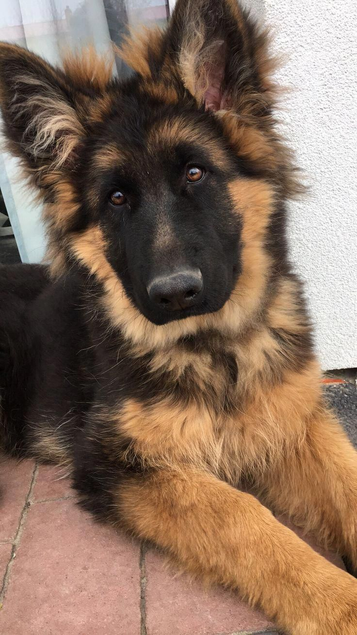 Discover Even More Information On German Shepherd Puppy Have A