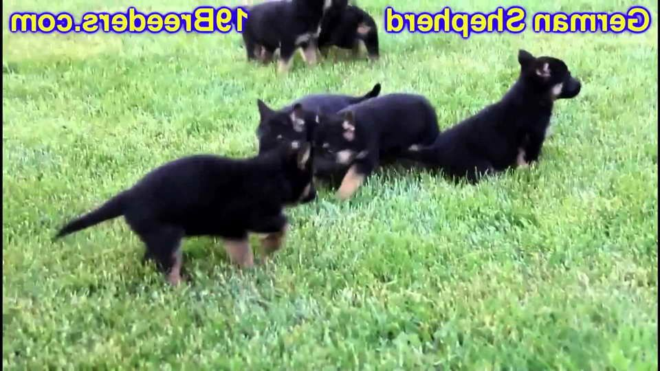 German Shepherd Puppies For Sale In South Bend Indiana