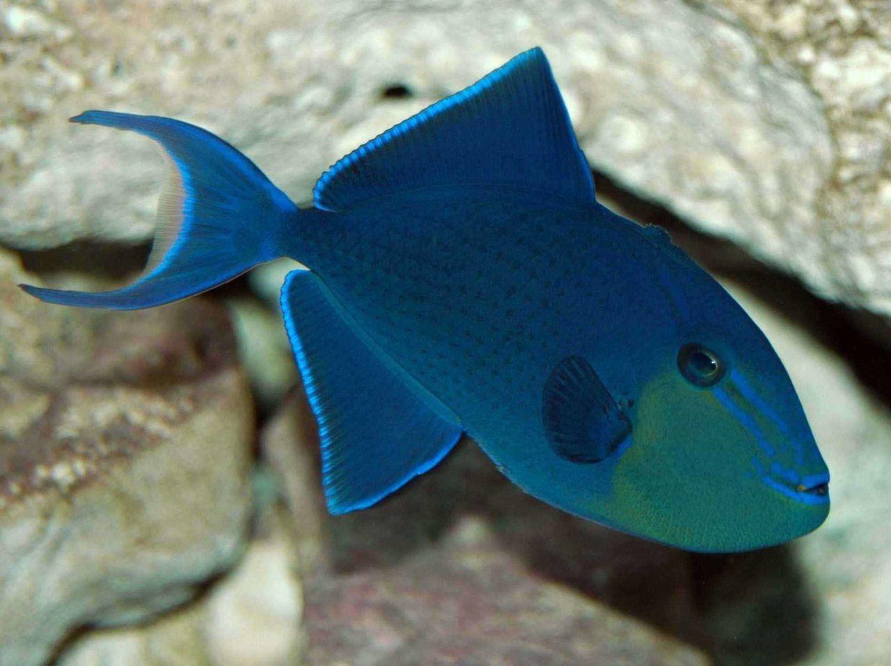 Niger Triggerfish Marine Fish Marine Fish For Sale Fish