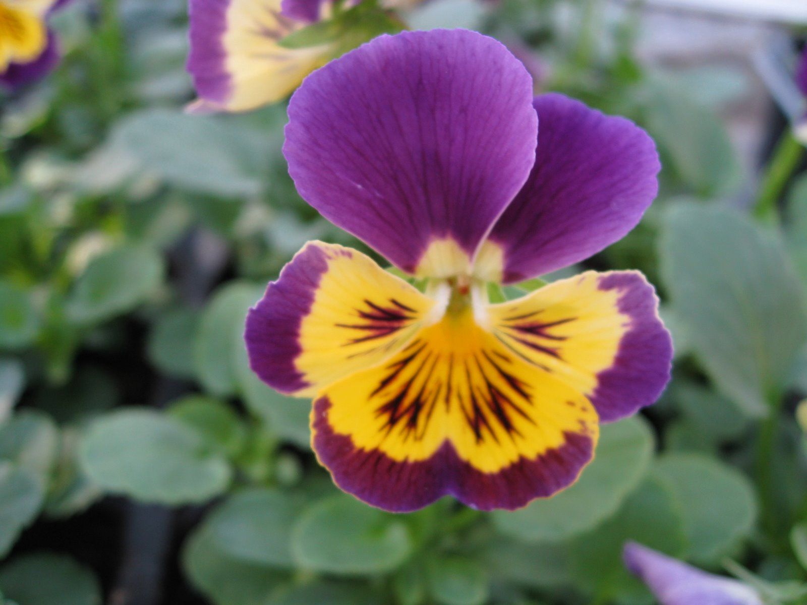 One of my simple little favorites viola pansey violet yellow one of my simple little favorites viola pansey violet yellow viola pansey is mightylinksfo Images