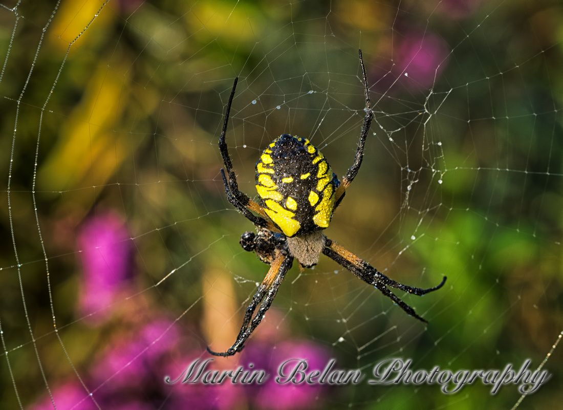 black and yellow garden spider in a colorful world