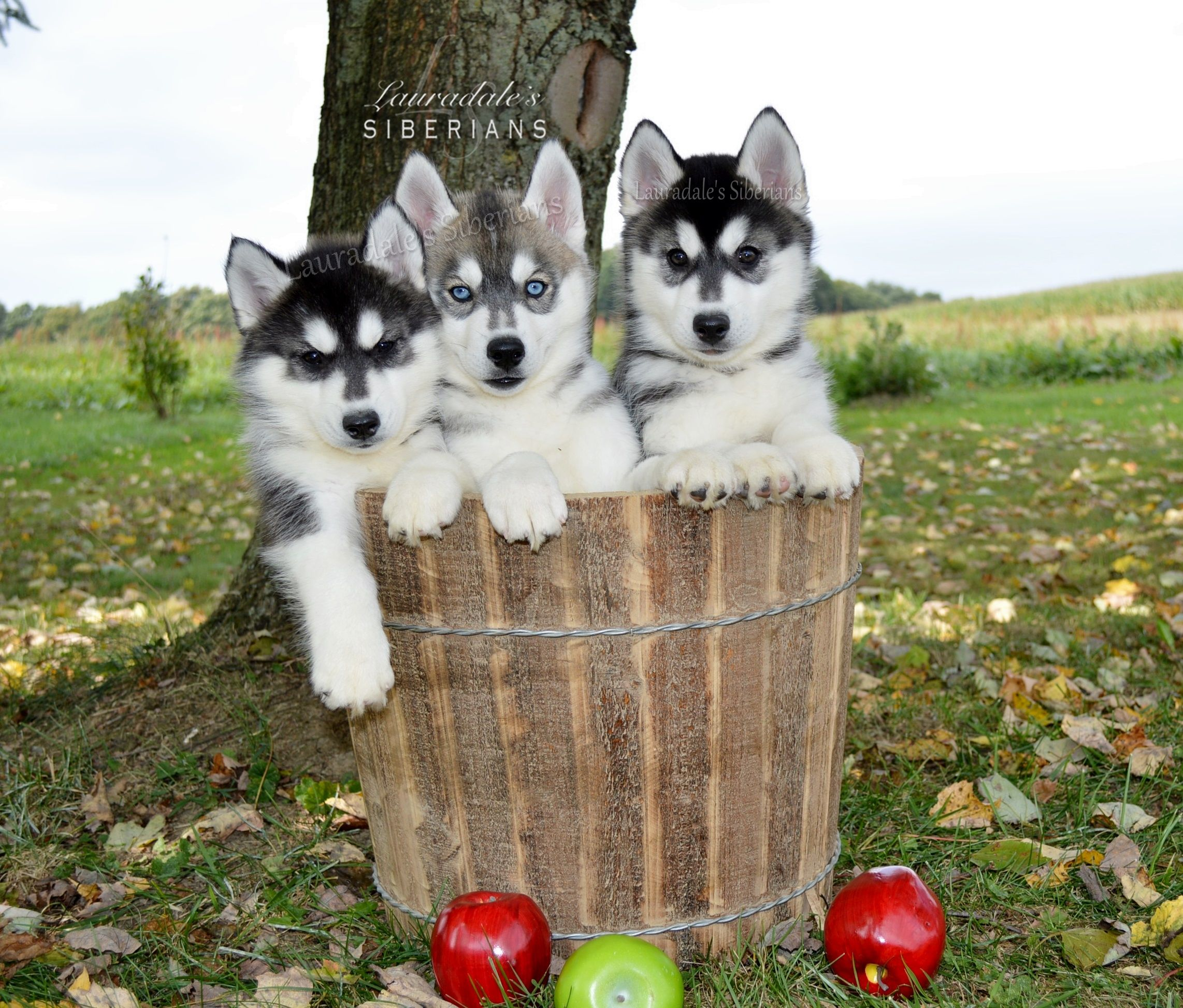 Lauradale S Siberian Husky Puppies For Adoption In Pennsylvania