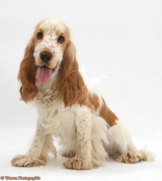 Orange Cocker Spaniel White Background Imagenes Espanoles Englischer Cocker Spaniel Spaniel Cockerspaniel