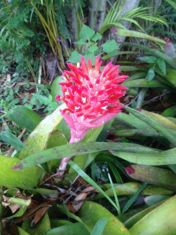 Bromeliad Billbergia pyramidalis~Exotic Tropical Plant~Flaming Torch Bromeliad~2