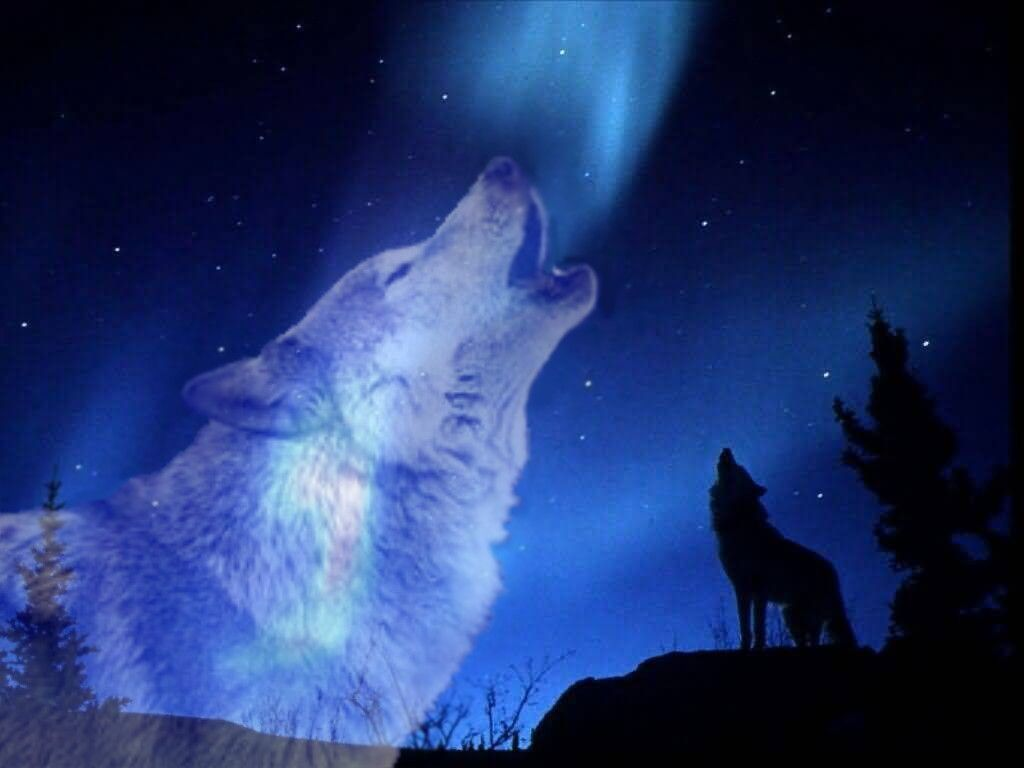 Wild Animals Wallpapers 2 Wild Animal Wallpaper Animals Wolf Howling Best of pictures of gray wolves howling