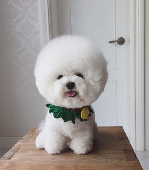 This Adorable Fluffy White Dog Looks Exactly Like A Giant Cotton