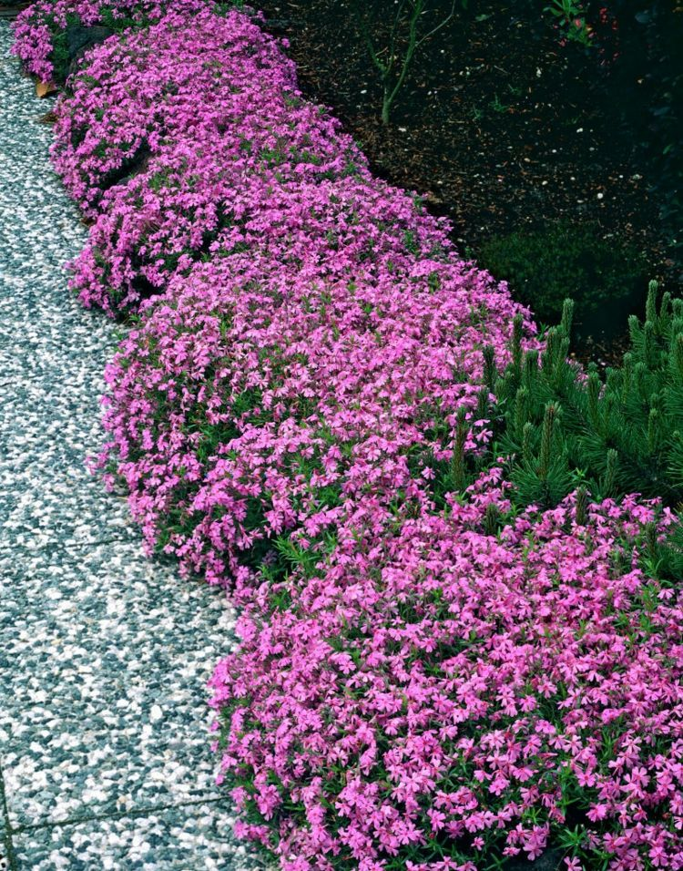 phlox pflanzen subulata moerheimii rosa beeteinfassung gardening pinterest beeteinfassung. Black Bedroom Furniture Sets. Home Design Ideas