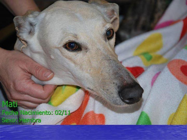 Preciosa galguita en adopción. Está en Jerez de la Frontera. Pertenece a la Asociación Ayuda Animal. Tfs. de contacto 648167457/ 609902915