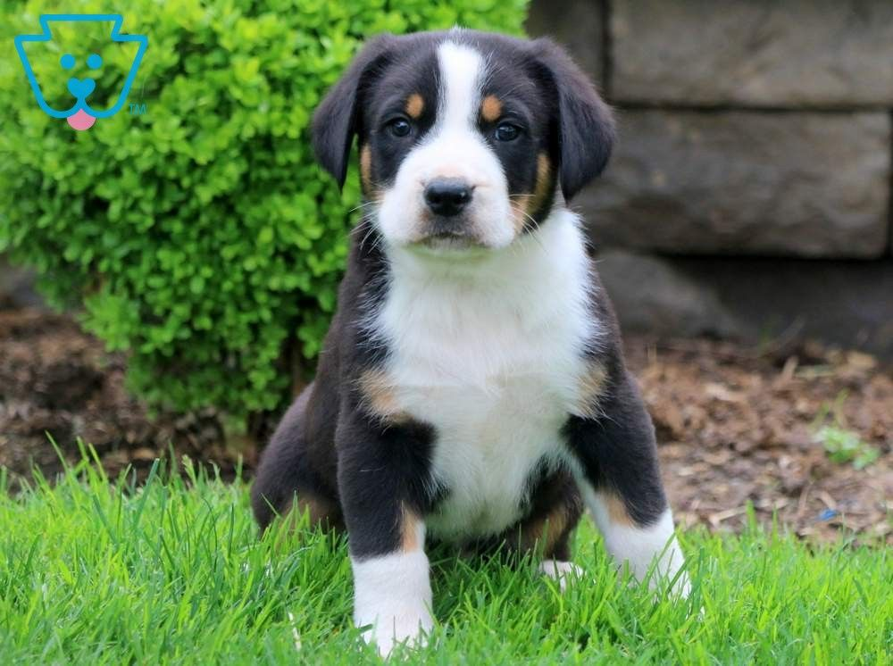 Drake Swiss Mountain Dog Puppy Mountain Dogs Swiss Mountain Dogs