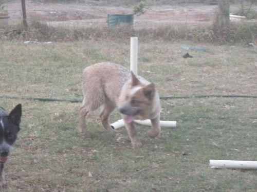 Lost Red Cattle Dog Female Puppy Allworth Nsw 2425 Losing
