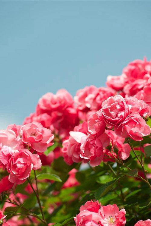 Imagem De Blue Flower And Pink Beautiful Jasmine Flower Flower Background Iphone Flower Iphone Wallpaper Iphone jasmine flower wallpaper hd