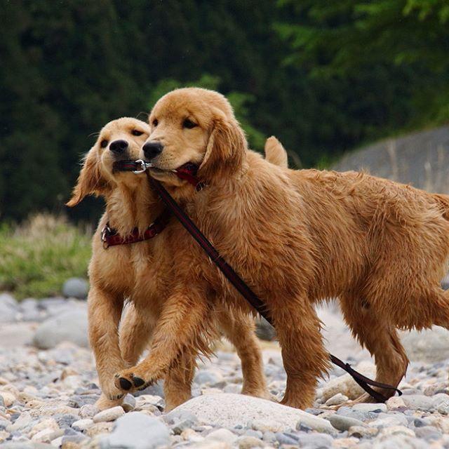 Lily&Fuzzy *  #ilovegolden_retrievers #pets_perfection #my_loving_pet #dogs_of_instagram #golden_retrieverlovers #pupdoggydog #meowvswoof #bestwoof #dog_features #dogsofinstagram #ilovemydog #puppytales #instagramdogs #dogstagram #nature_cuties #FurrendsUpClose  #goldens_ofinstagram #igclub_dogs #gloriousgoldens #instadog #goldenretriever #puppytrip #retrieversgram  #welovegoldens #Excellent_Dogs #amazing_picturez_animals #lillyspicoftheweek #cutepetclub #bestfriends_dogs #west_dog_japan